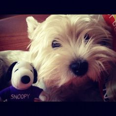 my two favorites Snoopy and a Westie!