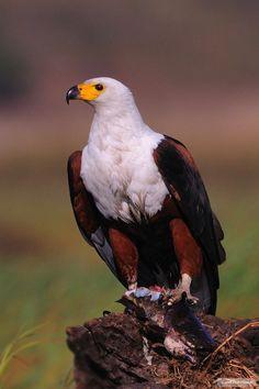African Fish Eagle {Haliaeetus vocifer} with Fish!  by Dou Pienaar