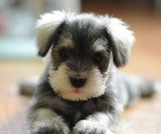 Mini schnauzers r my fav type of dog          #swag schnauzers P.S comment down below ur fav breed of dog