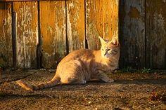 Kissa, Syksy, Puu, Iltavalaistuksessa