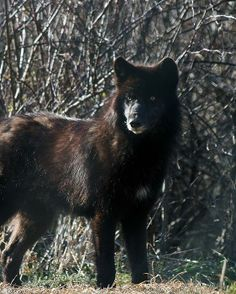 Black Wolf: This photo of a Black Wolf (Canis Lupus) was taken in December 2011 at Wolf Hollow in Ipswich Massachusetts. Wolf Hollow is a non-profit organization established in 1990 to teach people about the importance of the wolf in the wild. Black Wolves are most common in North America; about half of the wolves that are reintroduced into Wyoming's Yellowstone National Park are black.