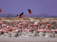 Did you know Flamingoes are white and then turn pink! What an amazing experience to see real flamingoes! Flamingoes, Bonaire Beach, Bonaire, Netherlands Antilles