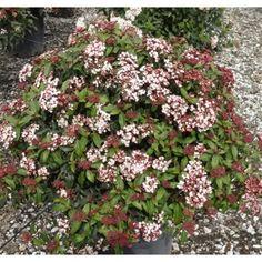 viburnum tinus spring bouquet compactum shrubs plant type boething
