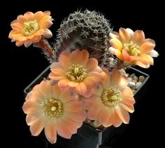 Cactus Rebutia pallida - cacti often have pretty plain bodies, but then have huge, bright flowers!