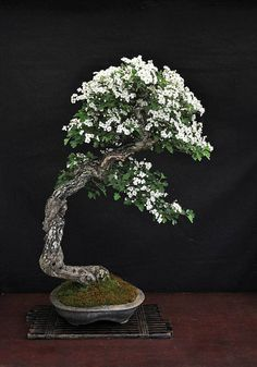 This spectacular Hawthorn bonsai belongs to Hans Van Meer. He doesn't say what the the variety is but the flower looks like a Common hawthorn* (Crataegus monogyna). The pot is by Brian Albright.