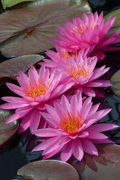 Pink waterlilies