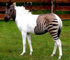 zorse.. i guess its a half zebra half horse.