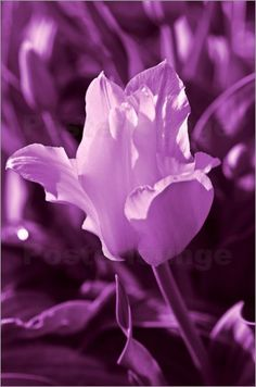 Tulp Violet