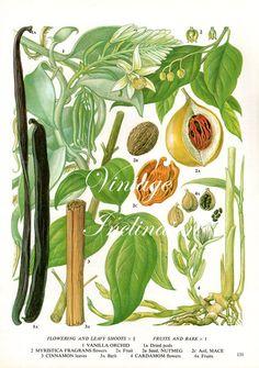 Spice Chart Vanilla Nutmeg Cinnamon Cardamom Food Vintage Botanical Lithograph Illustration For Your Vintage Kitchen 131 Antique Prints, Antique Art, Vintage Prints, Botanical Drawings, Botanical Prints, Spice Chart, Plant Illustration, Planting Flowers, Orchids