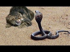 Funny Cats V/S Snakes Compilation 2017 | Best Funny Cat Videos Ever -  #animals #animal #pet #cat #cats #cute #pets #animales #tagsforlikes #catlover #funnycats  Learn how to speak cat! Click HERE for the cat bible! Funny Cats Compilation – Funny Cat Videos – Funny Videos Funny Pet Videos presents a brand new weekly compilation featuring the funniest... - #Cats