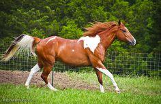 chestnut tobiano paint horse by venomxbaby on deviantART