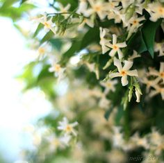 you smell it? All Flowers, White Flowers, Trachelospermum Jasminoides, Potager Bio, Rose Bush, Short Trip, Seeds, Canning, Plants