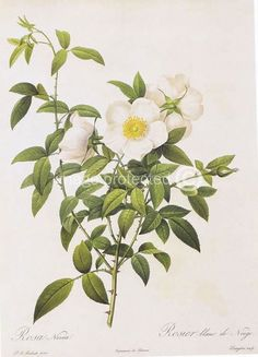 A Cherokee rose to also symbolize hope. Description from pinterest.com. I searched for this on bing.com/images