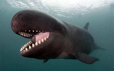 I'm not sure if this is a false killer whale or a pilot whale. It is a Pilot' who are classified with killer whales and dolphins. False Killer Whale, Killer Whales, Beautiful Creatures, Animals Beautiful, Pilot Whale, Water Animals, Tier Fotos, Sea Creatures, Pisces