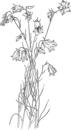 Click to see printable version of Bluebell Bellflower coloring page