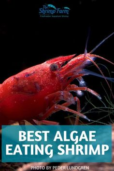 In need of a tiny cleaning crew to help you keep your aquarium algae free? Shrimp to the rescue! We discuss the 3 species weve found to be most effective at eating algae. Freshwater Aquarium Shrimp, Aquarium Algae, Red Cherry Shrimp, Shrimp Farming, Show Me Pictures, Cleaning Crew, Fishing For Beginners, Fish Care, Fresh Water