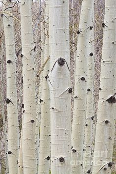 Close up of Aspen Trees forest trunks and bark high up in the Colorado Rockies. Portrait vertical image.  Fine art photography prints, decorative canvas prints, acrylic prints, metal print wall art for sale on FineArtAmerica.com. Prints starting at $22. Copyright: James Bo Insogna