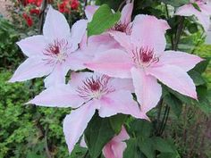 Clematis Hagley Hybrid  At/Co