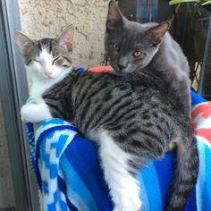 Gala gets a delightful grooming session!  #tgif #catsofinstagram #kittensofinstagram #russianblue #groomed #kitten #catlove