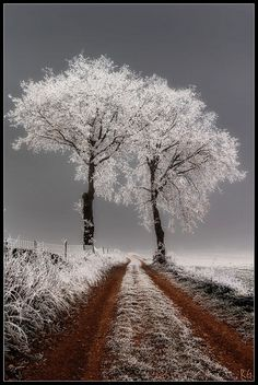 Snowy White Trees at the end of a dirt farm road look stunning against the gray sky!