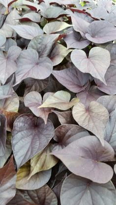 Ipomoea Desana Bronze 254 Live Plants, Bronze, Art, Backgrounds, Art Background, Kunst, Performing Arts, Art Education Resources, Artworks