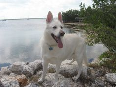 White German Shephard...Zeke.