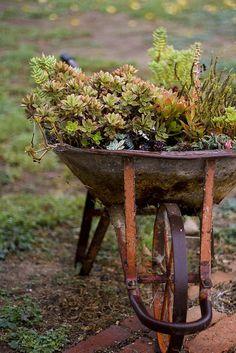 succulents in wheel barrow.
