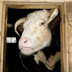 Fantastic Portraits of Farm Animals - My Modern Metropolis