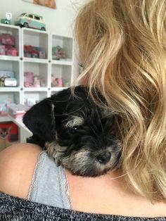 Time for a little hug. Schnautzer puppy, 6 weeks old