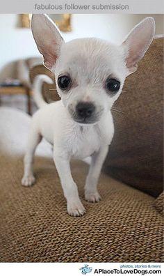 Chihuahua love. Such a cutie! :)