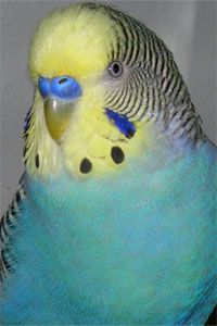 Cobalt Yellow Face Type 1 Normal budgie