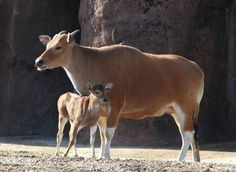Banteng cow and calf. Females are smaller, tan in color, and have smaller horns than bulls of the species.