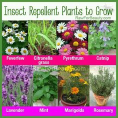 Insect repellant plants