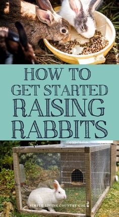 Raising rabbits can feel a bit overwhelming here you will find everything you need to get started raising rabbits. Raising rabbits for beginners guide. What To Feed Rabbits, Show Rabbits, Meat Rabbits, Raising Rabbits, Rabbit Farm, Wild Rabbit, Rabbit Cages, Bunny Rabbit, Jungle Animals