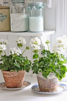 VIBEKE DESIGN: Blå & grønne favoritter.... Beautiful white geraniums in terra cotta pots that have a lovely patina. ~