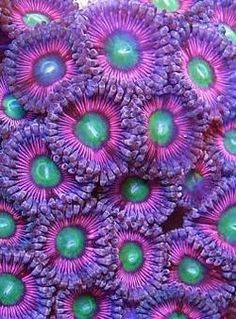 Zoanthids. -  animals found in coral reefs