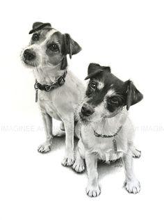 The feisty little Jack Russell Terrier