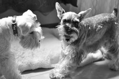 Shall We Play Together by SharewithYou2011 #Miniature #Schnauzer