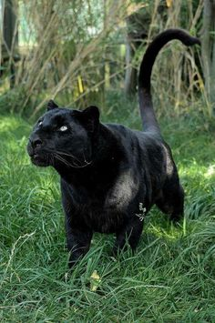 My black kitty thinks he's a black panther! Black Animals, Animals And Pets, Cute Animals, Wild Animals, Jungle Animals, Big Cats, Cool Cats, Cats And Kittens, Beautiful Cats