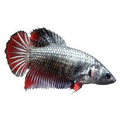 Chinese algae eater petsmart i am planing on for Petsmart live fish