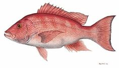 'red snapper'
