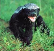 honey badger eating cake - Google Search