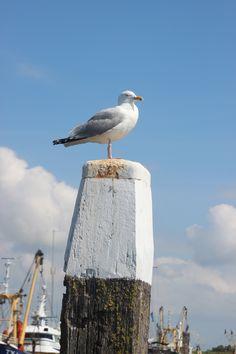 Seagull Harbour Oudeschild Texel Island - meeuw