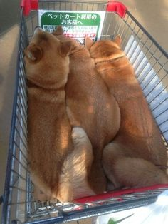 Shiba in cart Animals And Pets, Baby Animals, Funny Animals, Cute Animals, Shiba Inu, Cute Puppies, Cute Dogs, Dogs And Puppies, Doggies