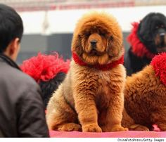 "The new status symbol: the most expensive dog in he world - ""Big Splash,"" a Tibetan Mastiff, sold for $1,500,000. Genghis Khan and Buddha loved these dogs; they grow to approx. 3ft tall and upwards of 250 lbs!  Red is considered a lucky color in Chinese culture and Tibetan Mastiffs are thought to be holy animals, bringing riches and good health to their owners. The black ones look life NewFoundlands to me."