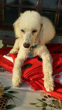 BILLY - Lindo e super protegido com sua placa pet personalizada!!
