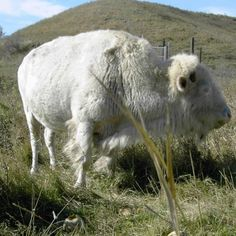 9. Take part in the White Cloud Days in Jamestown and wish the famous albino buffalo a happy birthday and happy retirement with fun festival fares.