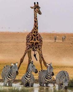 ZEBRA'S AND A VERY TALL GIRAFFE