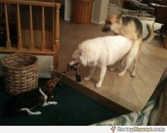 funniest german sheaper and collie - Google Search