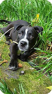 Milwaukee, WI - Boxer/Labrador Retriever Mix. Meet QUINN, a puppy for adoption. http://www.adoptapet.com/pet/15490597-milwaukee-wisconsin-boxer-mix